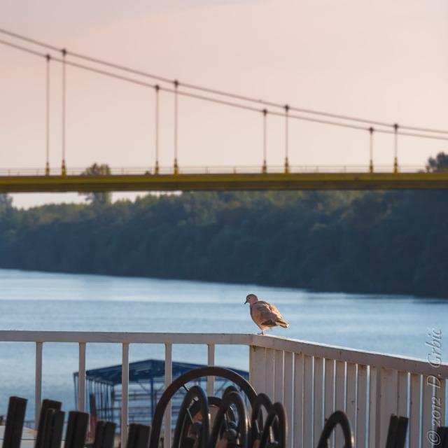 Jedna na dan, 18. septembar 2012: Grlica na kasnom septembarskom suncu