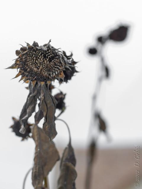 Jedna na dan, 10, novembar 2012: Osušeno cveće