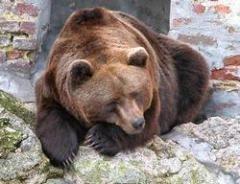 Tipični primerak mrkog medveda (nije Miša)