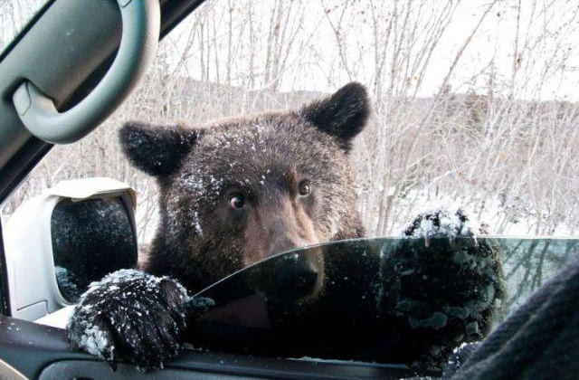 Samo füno prema medvedima, da ne dožive stres. A ako medved povredi vaše dete dok ide iz škole, vi ćete biti krivi što ste dozvolili da dete ide pešice...