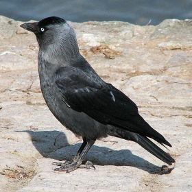 Corvus monedula (čavka)