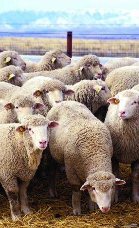 da se pase, da bude trave jedino je, jedino je o čem'misle ovčje glave