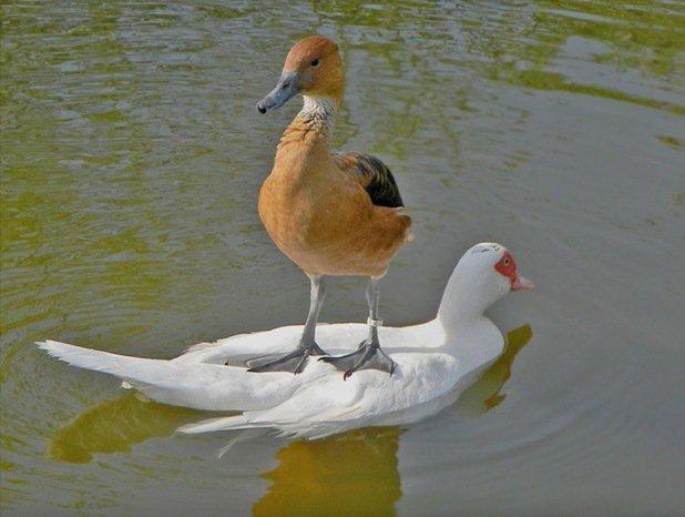 Pliva patka preko Save. A njen šef se vozi Kolubarom. Glavnom ulicom Obrenovca.