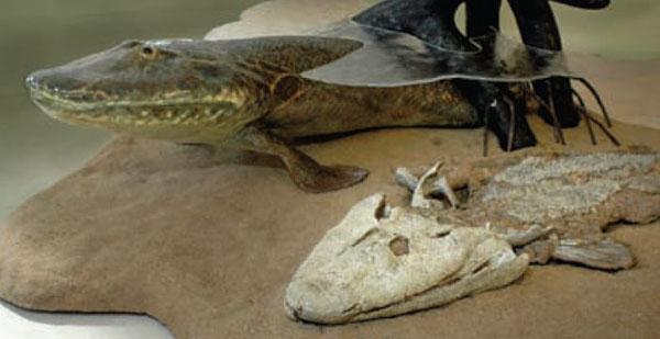 Tiktaalik, fosil i rekonstrukcija