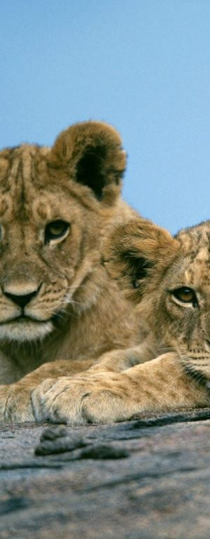 mladi lavovi